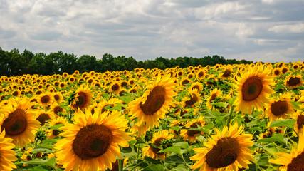 Wonderful sunflowers growing in field near forest