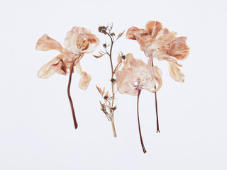 Pressed and dried tulips flower on a white background. For use in scrapbooking