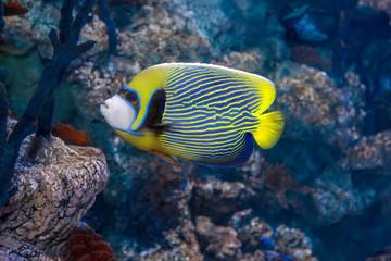 Emperor angelfish - Pomacanthus imperator.