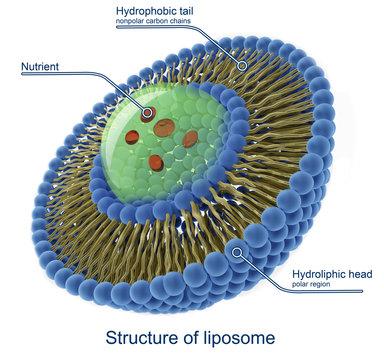 Structure of liposome,