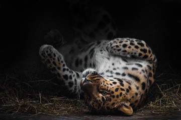 Leopard imposingly rolls on vacation. The Far Eastern leopard lies beautifully on a sleeping bed enjoying its rest, abeautiful stylish cat.