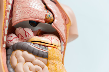 Closeup human organs artificial model in medical student classroom, inside body anatomy torso for study education
