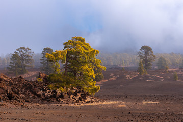 Canarian pine trees (Pinus canariensis) in the Corona Forestal Natural Park, Tenerife island, Spain