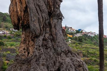 Trunk of the old millenary Dragon Tree of Icod de los Vinos in Tenerife, Spain