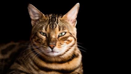 Bengal cat portrait on black background. Purebred