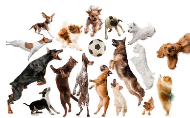 Wall Mural - Young dogs are posing. Cute doggies or pets are looking happy isolated on white background. Studio photoshots. Creative collage of dogs, fighting for ball like a football players. Flyer for your ad.