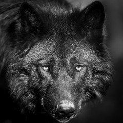 Portrait of black wolf in the forest