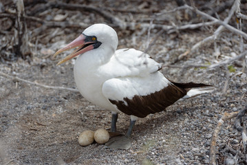 Nazca Booby (sula granti) with nest with two eggs on Genovesa Island, Galapagos Islands, Ecuador, South America.