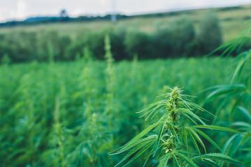 Summer hemp field ready to harvest