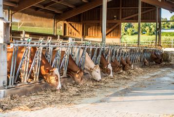 Wall Mural - Kühe beim fressen im Stall