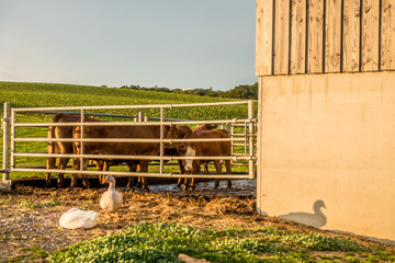 Wall Mural - Gänse und Kühe im Stall