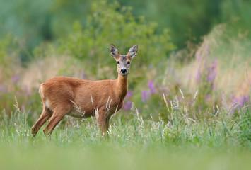 Fototapete - Roe deer (Capreolus capreolus) female