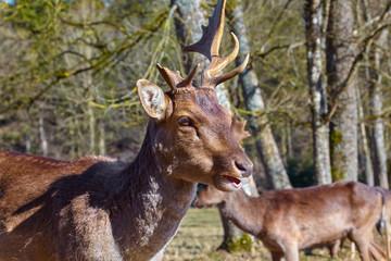 Imposing deer with broken antlers