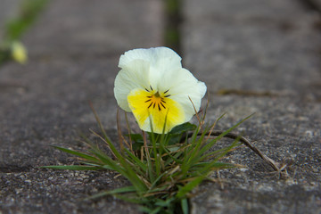 The small flower growing through a crack in the old brick pavement in spring