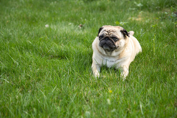 Pug dog lying on the grass in park