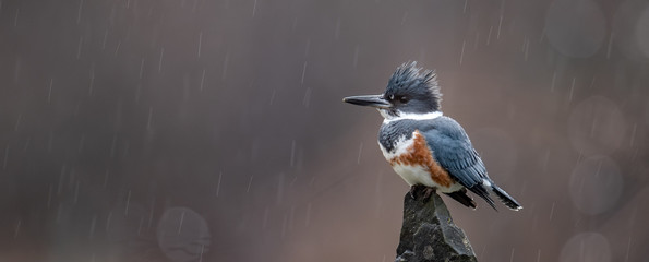Aluminium Prints Bird Kingfisher on a Perch in the Rain