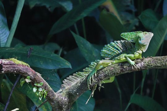 basilisk lizard in wild