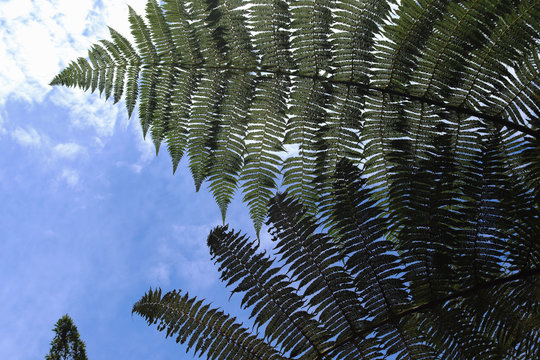 mimosa tree branch silhouette