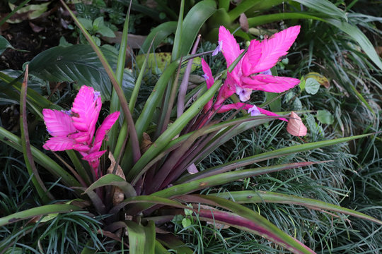pink tillandsia in wild