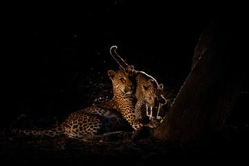 In de dag Luipaard Leopards at night