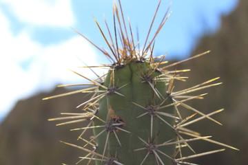 Cactus en la ciudad de la Paz