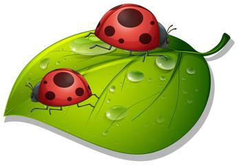 Two ladybugs on green leaf on white background