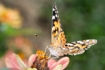 Painted Lady or Cosmopolitan butterfly - Vanessa cardui - resting on a blossom