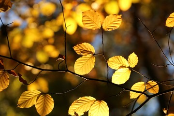 Autumn leaves. Golden autumn  leaves on a  forest background. Autumn nature plant background.