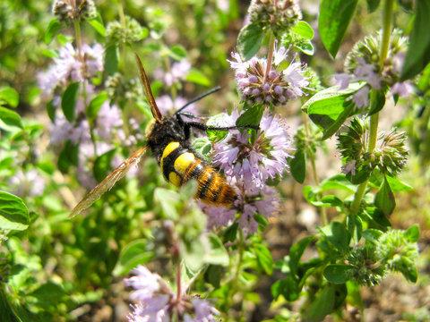 Pennyroyal  Mentha pulegium A bee. A honeybee sits on purple  mentha pulegium flower at sunny summer day