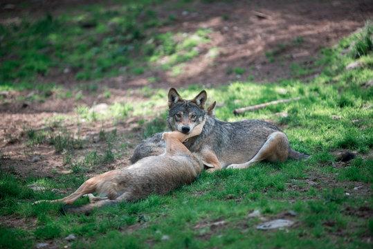 Wolves fighting ofer slab of meat