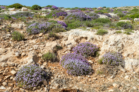 Mediterranean scrub flora: thyme bushes with purple flowers. - Cala Galera, Island of Lampedusa, Agrigento, Sicily, Italy