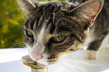A cat named Mila loves money, close-up, on a beautiful background.