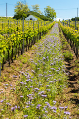 floral spacing in organic vineyard, Moravia, Czech Republic