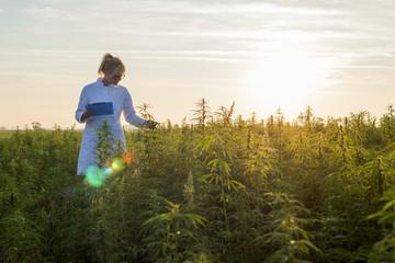 Scientist observing CBD hemp plants on marijuana field and taking notes
