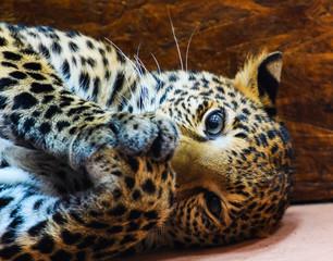 Wall Mural - very cute leopard
