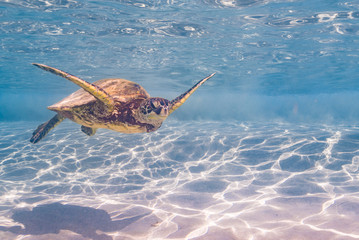 Sea turtle swimming over sand in clear blue water