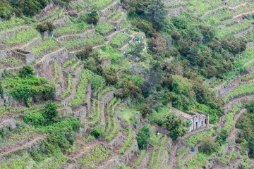 vineyards on Coast, Cinque Terre, Italy