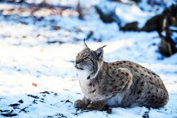 Wall Mural - lynx in winter