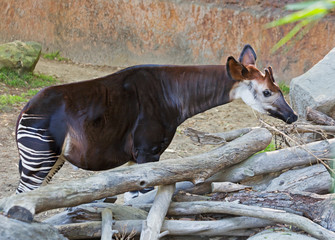 Okapi is a striped giraffe.  In appearance the Okapi is similar to the Zebra, but the Okapi is a relative of the giraffe. Okapi is a species belonging to the order of cloven-hoofed, living in the trop