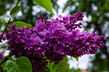 Foto auf Leinwand Flieder Blooming lilac (лат. Syringa) in the garden. Beautiful purple lilac flowers on natural background.