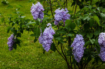 Wall Murals Lilac Blooming lilac (лат. Syringa) in the garden. Beautiful lilac flowers on natural background.