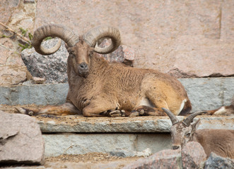 Mountain sheep.  It's a mountain sheep with steeply curved heavy horns forcing the beast to hold its head high.