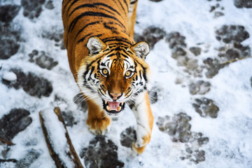 Wall Mural - Beautiful Amur tiger on snow. Tiger in winter forest