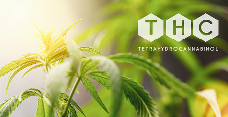THC cannabis flower and marijuana plant