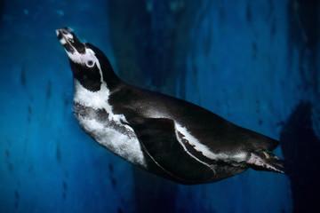 Humboldt penguin (Spheniscus humboldti) swimming underwater