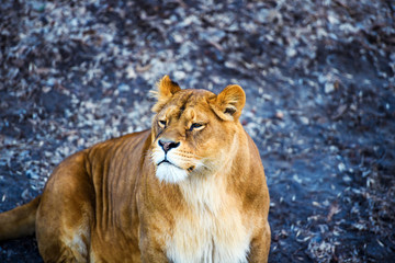 Wall Mural - lioness