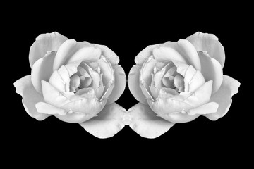 white rose blossom pair monochrome macro isolated on black background, a fine art still life bright close-up of a single bloom in vintage painting style Wall mural