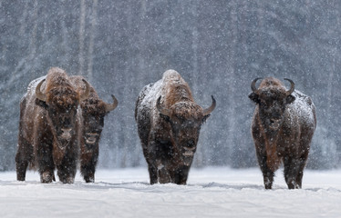 Poster Bison Winter Image With Four Aurochs Or Bison Bonasus, The Last Representative Of Wild Bulls In Europe. European Endangered Artiodactyl Animal.Ox Hoof Beats