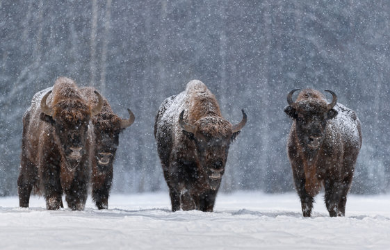Winter Image With Four Aurochs Or Bison Bonasus, The Last Representative Of Wild Bulls In Europe. European Endangered Artiodactyl Animal.Ox Hoof Beats
