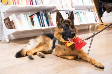 Clever serious German shepherd in a library. Dog and books. Education concept